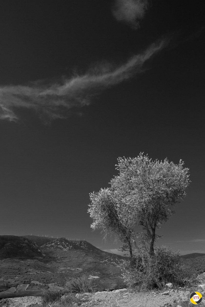 Olivenbaum © Wilfried Sperling - 1. Platz Papierbilder Schwarzweiß 2015