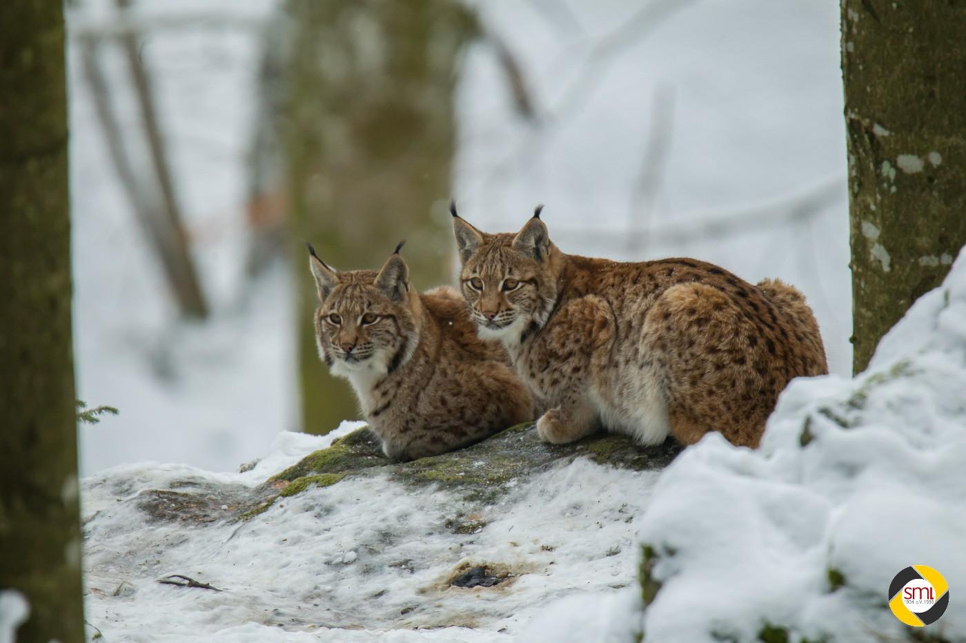 Luchse im Schnee © Christoph Stempfhuber
