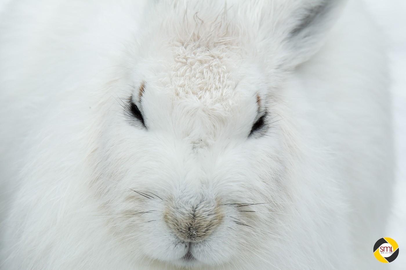 Schneehase © Christoph Stempfhuber