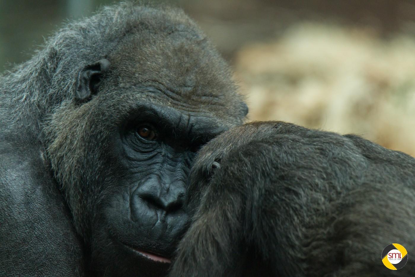 Gorilla-Familie © Christoph Stempfhuber