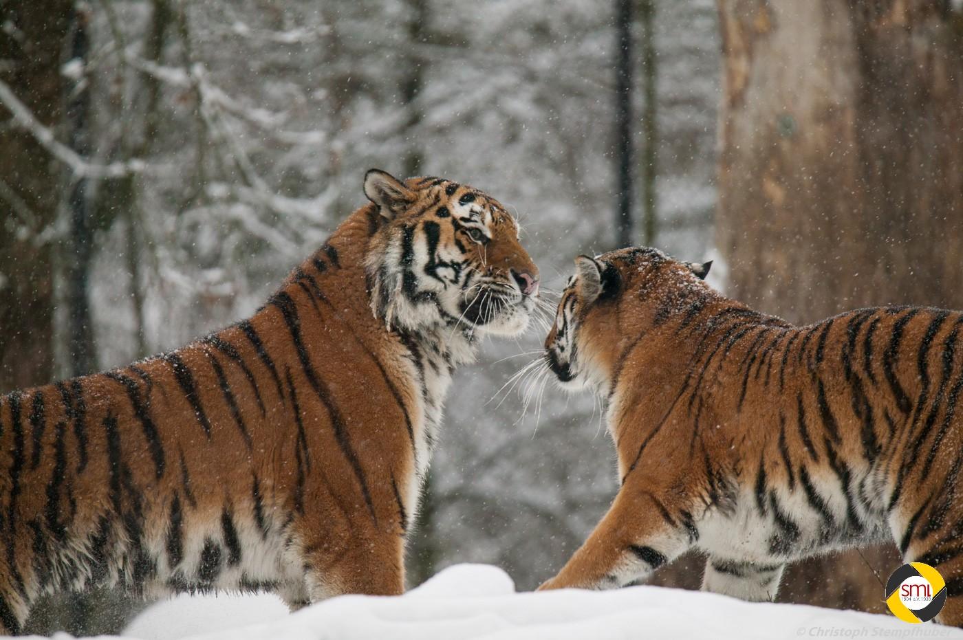 Tiger im Schnee © Christoph Stempfhuber