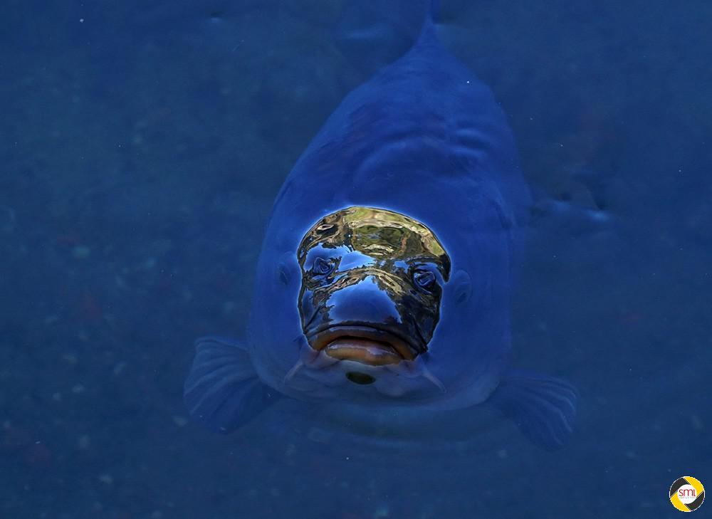 Karpfen Blau © Hannelore Kiefer